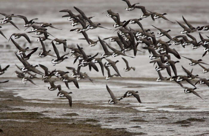 Bulk of birds flying