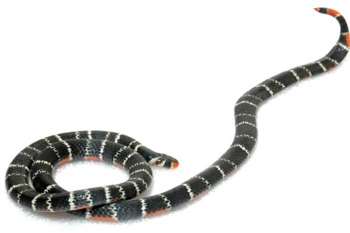 The Bolo Snake