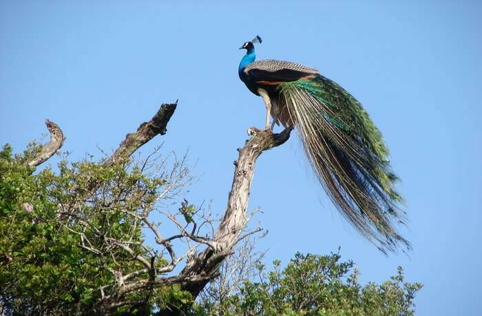 Udawalawe Safari