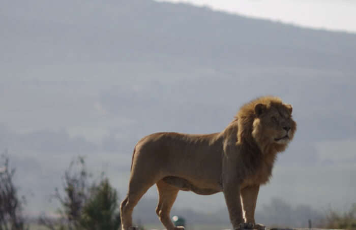 Visit the amazing wild cats at Drakenstein Lion Park