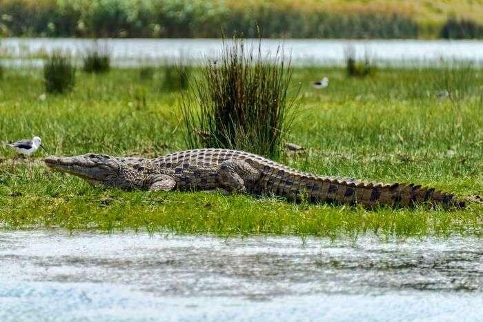 Nile Crocodile basking