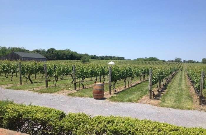Wineries At Long Island
