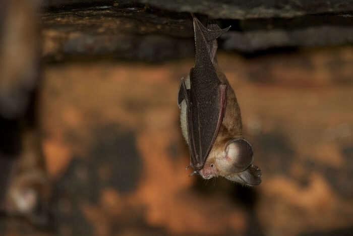 Ashy Roundleaf Bat