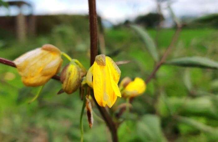 Churachandpur Flower