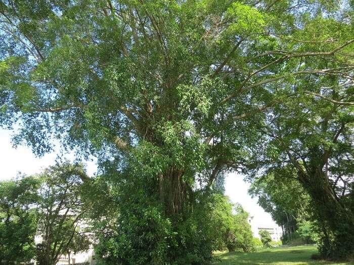 Ficus Stricta 1