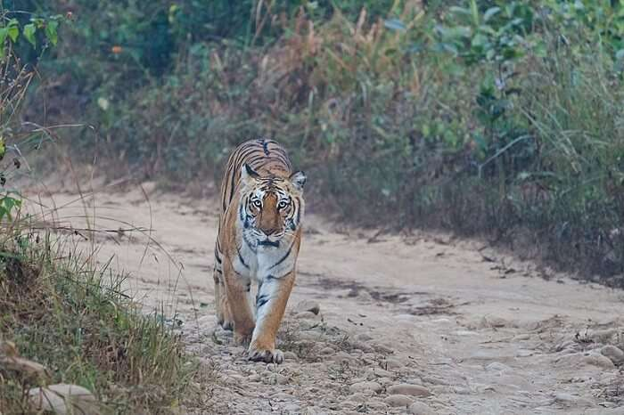 tiger walking in the jungle