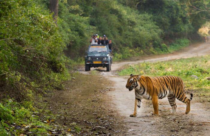 A tiger crossing path with a  Jim Corbett safari jeep