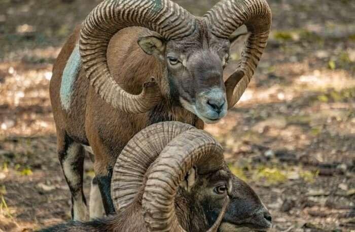 Animal Deer Park Horns Mouflon Sheep