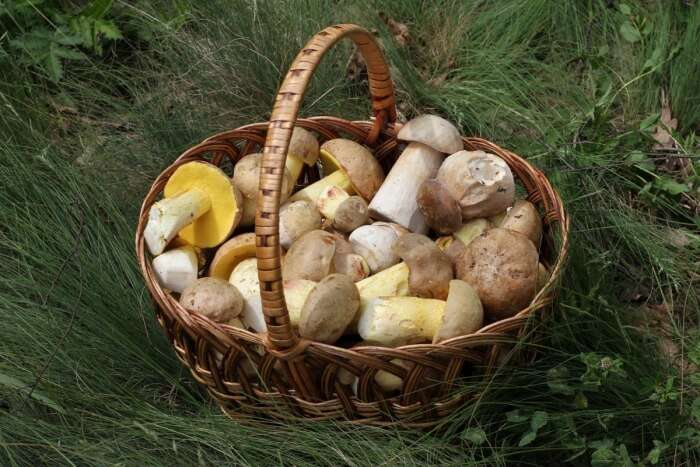 Pick Basketful Of Mushrooms