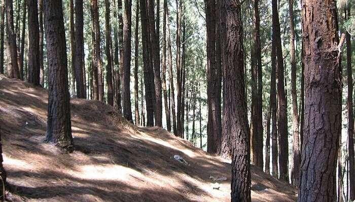 Pine Hill In Vagamon