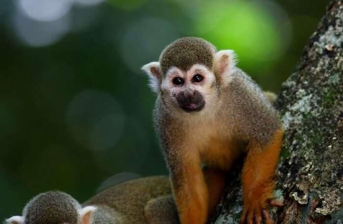 Pygmy-Slow-Loris