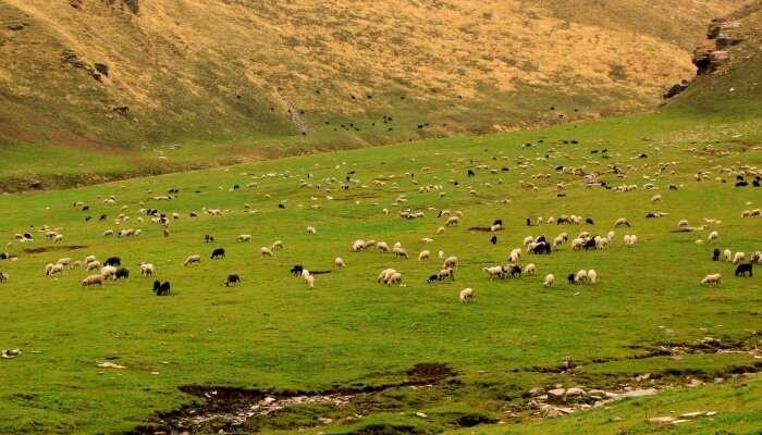 sheep grazing on a grassland