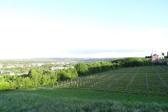 Vignoble des Grottes à Saint-Germain-en-Laye.