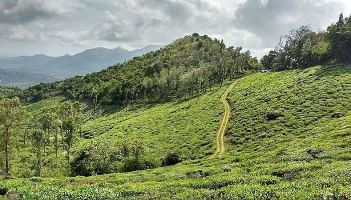 Wayanad tea plantations