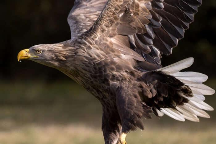 White-tailed Eagles