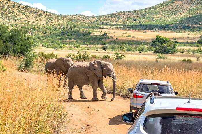 a view of elephants and cars in a national park in pretoria