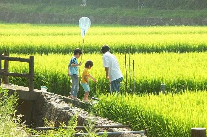 Agera festival paddy field