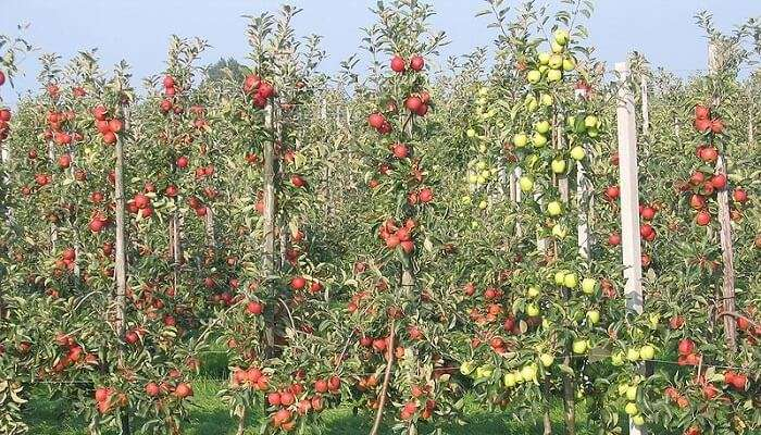 Apple Orchards In Manali 26/10/19