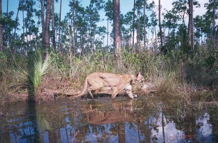 Florida Panther Festival