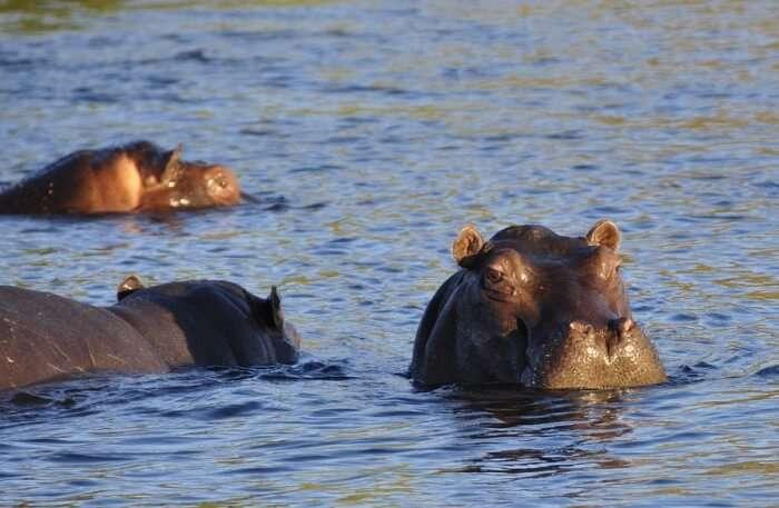 Hippopotamus View