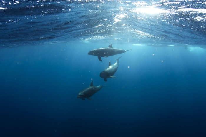 Underwater Marine Life Animals Dolphins Aquatic