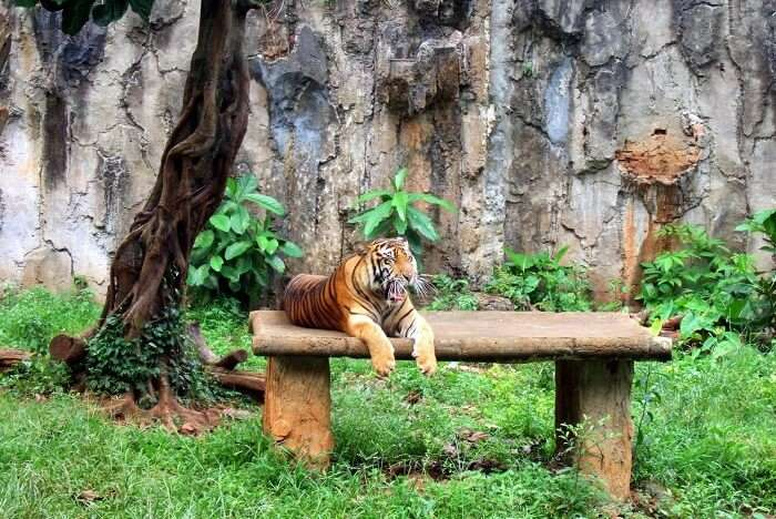 Tiger in Ragunan Zoo in Jakarta