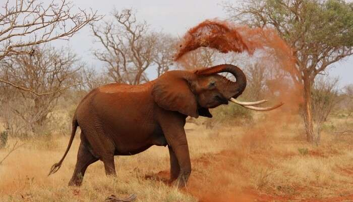 elephant throwing dust