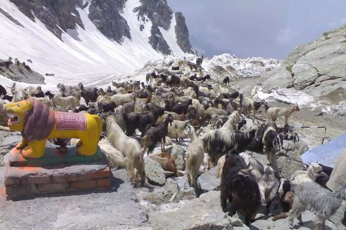 goats and snow at Sach Pass
