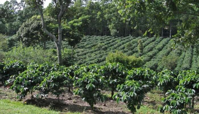 Stroll Through Coffee Plantations
