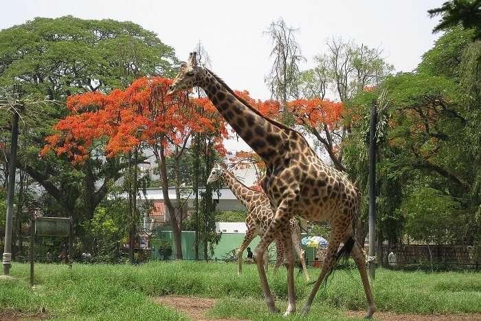 Sri Chamarajendra Zoological Gardens
