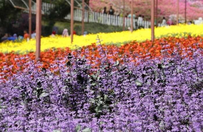 Lavender Gardens in Cameron Highlands, Malaysia