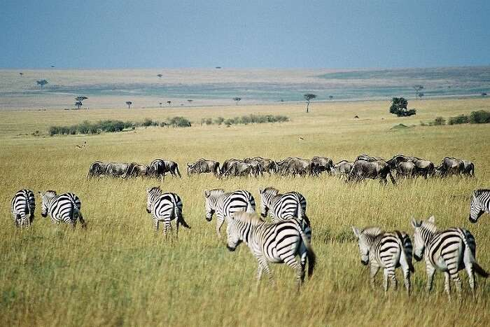 beautiful zebras walking in the grass