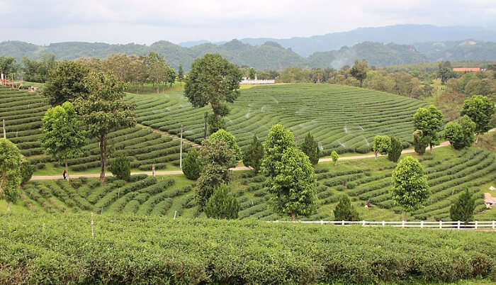 Tea farms in Chiang Rai