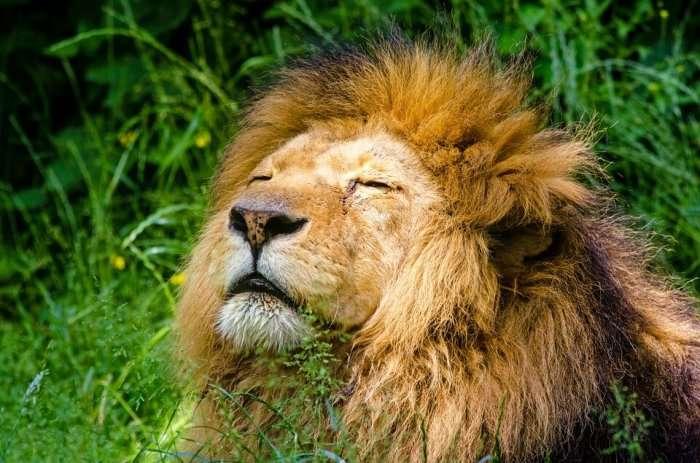 lion in a cage in phnom rescue centre