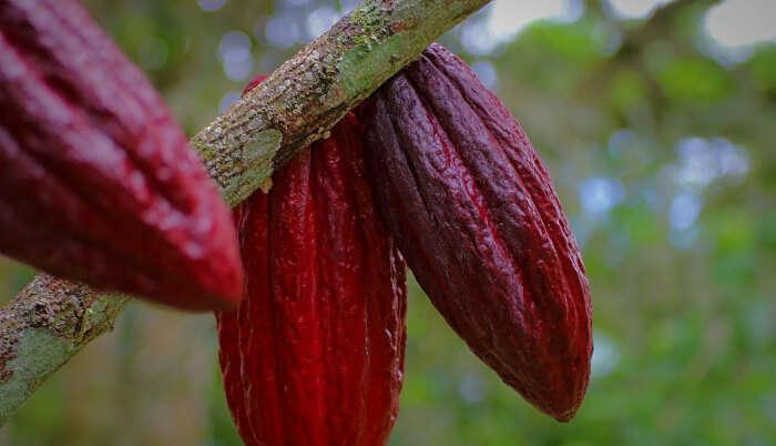 Cacao Farming