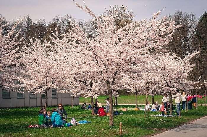 sakura tree picnic