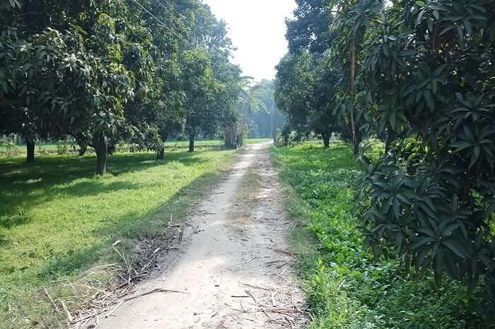 mango trees lined up