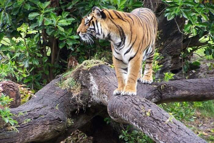tiger standing on a rock