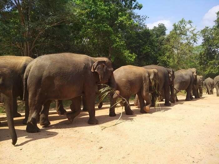 several elephants
