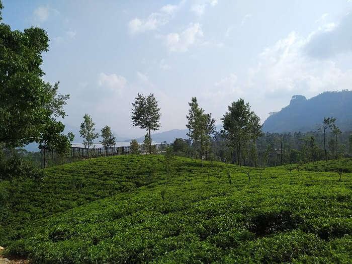 tea plantation flourished this place