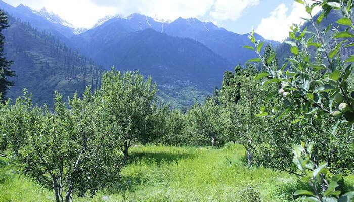 Apple Orchards at Pulga
