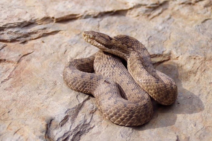 Nature Viper Venom Animals Snake Fauna Aspid