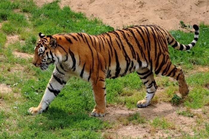 giant cat called as Tiger