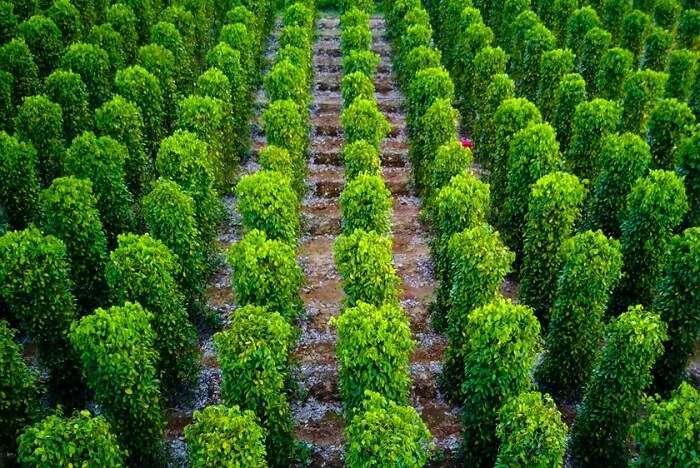Vandanmedu cardamom plantations