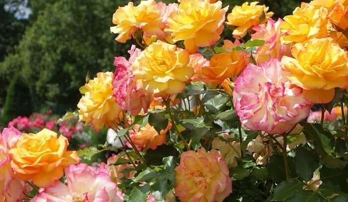 Hadamar Rose Garden Rose Flower Roses Blossom