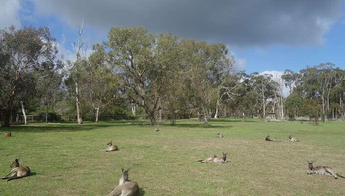 cleland kangaroos