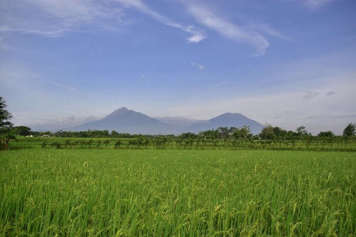 Agriculture Rice Indonesia Rice Field Countryside