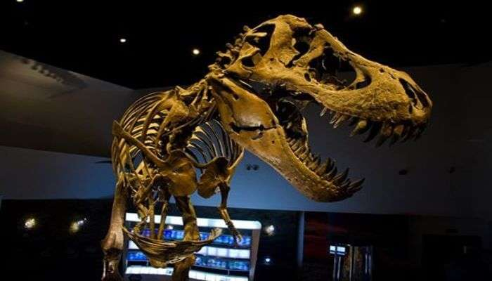Dinosaur Skeleton View