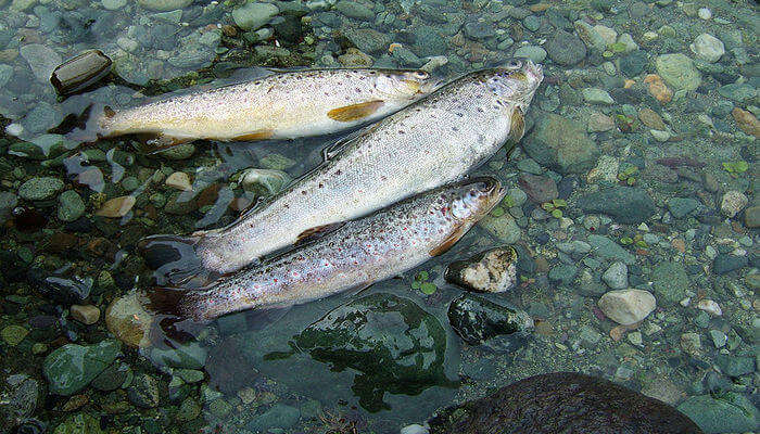 Trout_Fishing