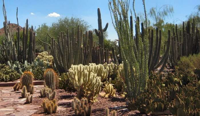 Enjoy A Stroll In Desert Botanical Garden